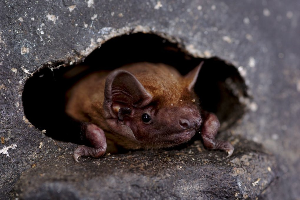 Adaptations to ephemeral resources in tropical and temperate bat species