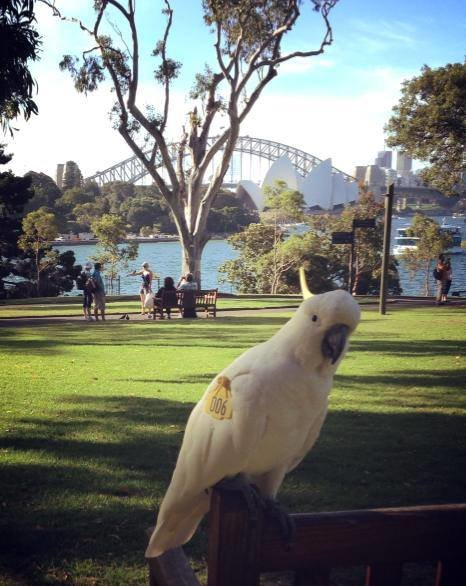 Cultural ecology in urban cockatoos